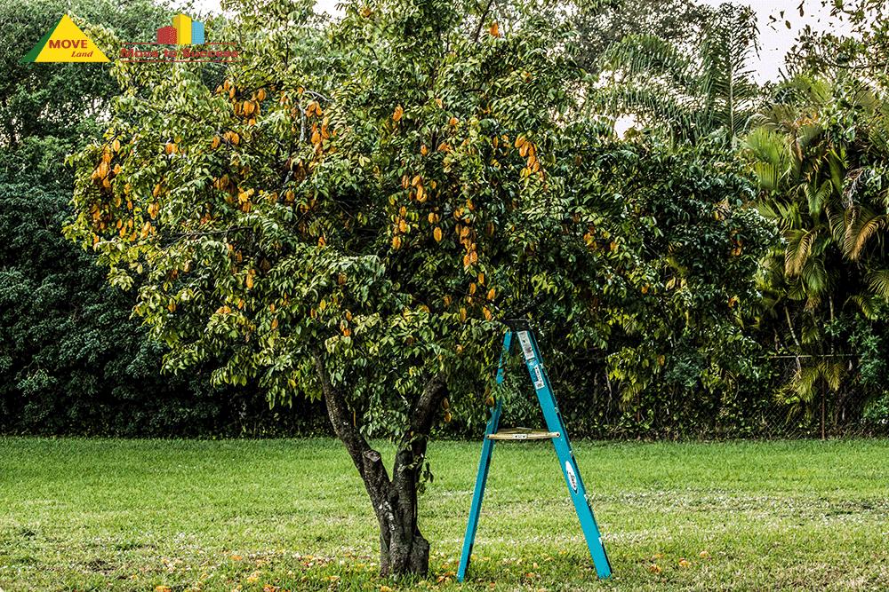 Cây khế được trồng trong sân vườn để cho bóng mát