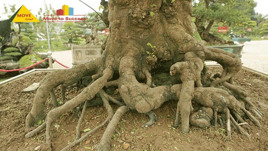 Có nên trồng cây khế trước nhà?