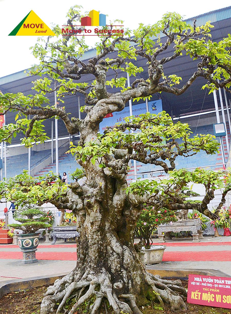 Khế bonsai làm cảnh