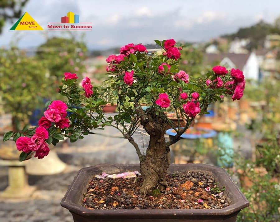 Cây hoa hồng bonsai cực đẹp